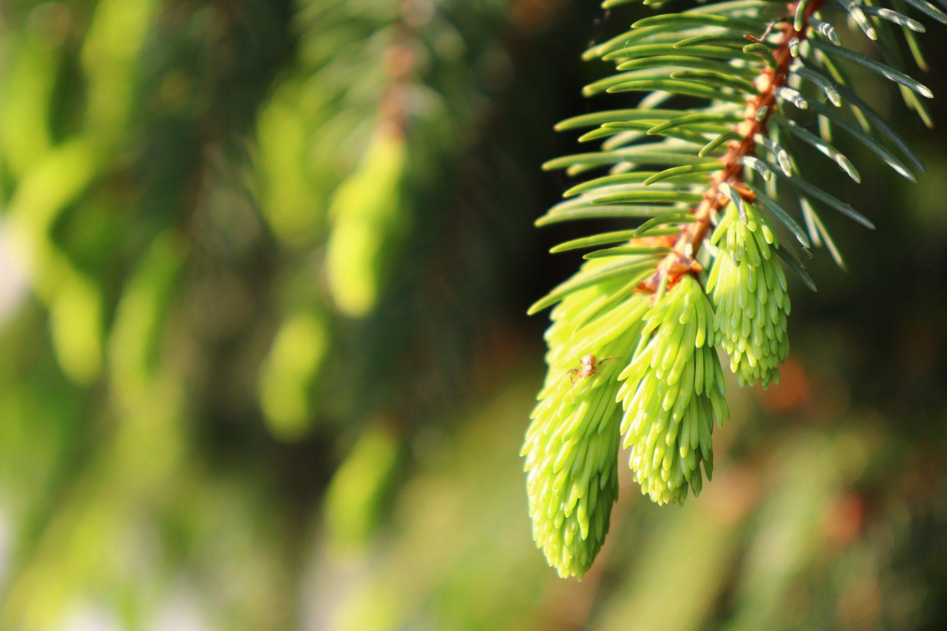 fir-tree-5215224